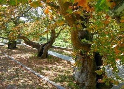"""Θεσπρωτία: Τα πλατάνια στη Θεσπρωτία """"πεθαίνουν"""" το ένα μετά το άλλο…"""