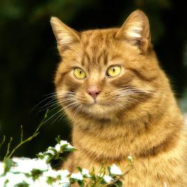 Cat portrait by Allan Wallberg - Animals - Cats Portraits (  )