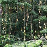 Gousses de Wapa. Approuague en amont de Saut Athanase, 5 novembre 2012. Photo : J.-M. Gayman