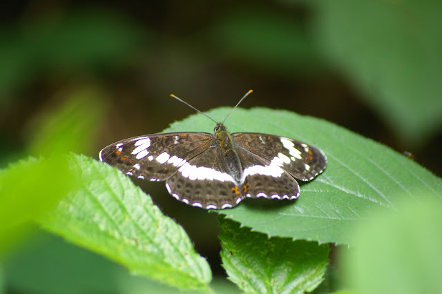 Limenitis camilla L., 1764. Les Hautes-Lisières (Rouvres, 28), 8 juin 2011. Photo : J.-M. Gayman