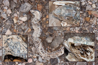 Photo: Fauna: Restes de serp verda (Malpolon monspessulanus).