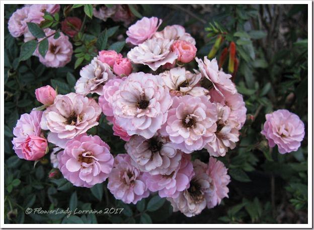 04-03-new-rose6