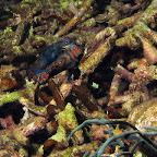 Mandarinfish (Dauin, Negros)