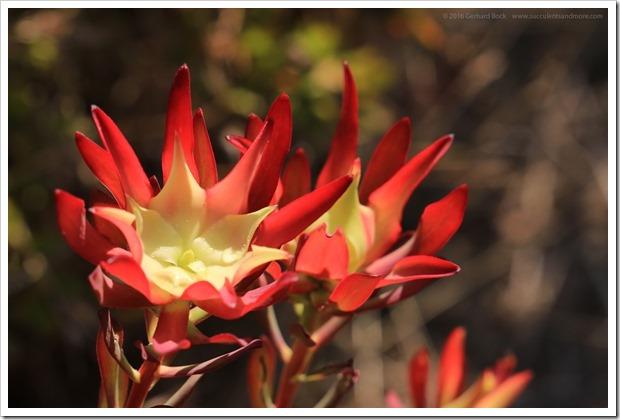 160813_UCSC_Arboretum_027