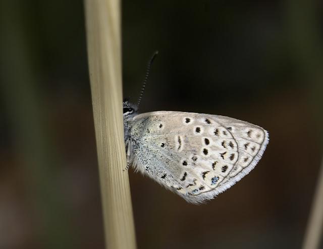 Polyommatus cyane cyane EVERSMANN, 1837. Kichi Kara Kuchur (2600 m) au Sud de la Dolon Pass, 16 juillet 2006. Photo : B. Lalanne-Cassou