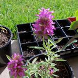 Gardening 2010, Part Three - 101_4980.JPG