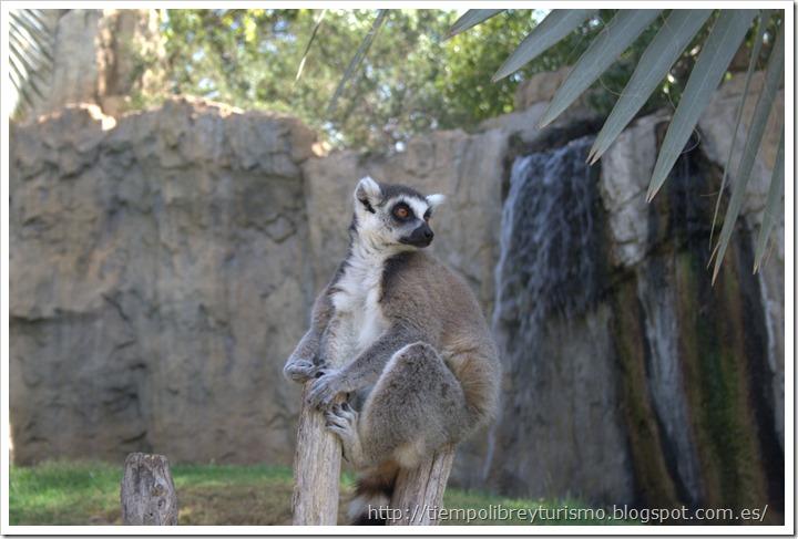 Bioparc-Valencia-Madagascar-12