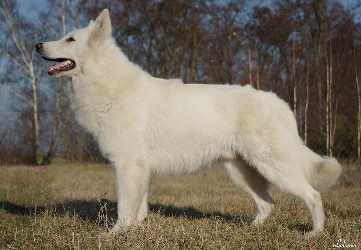 Apache White Wolf Lohrien