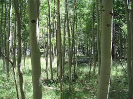 Aspen grove just outside of Merced Lake HSC.