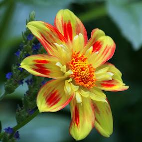 flr10 by Anup Kumar Adhikari - Flowers Single Flower