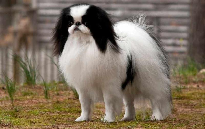 Chó lông xù đẹp nhất: chó Nhật lông xù, poodle, phốc sóc,...