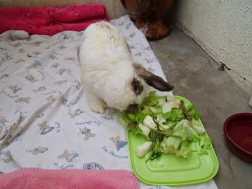 [adoptée] Sunny, lapin bélier courageux Sunny-2-ae67c