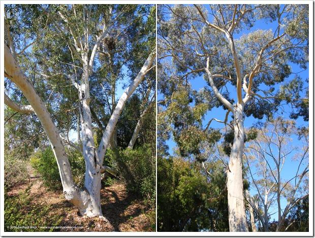 160813_UCSC_Arboretum_Eucalyptus-laeliae_001