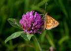 Skipper on a red clover blossom July 4.
