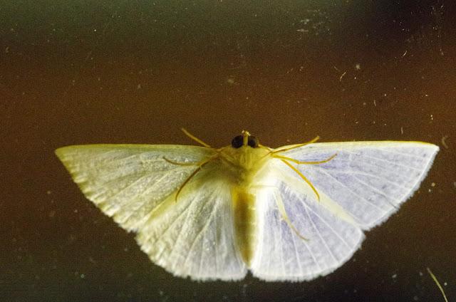 Lomographa argentata Schaus, 1911, face ventrale. Mount Totumas, 1900 m (Chiriquí, Panamá), 20 octobre 2014. Photo : J.-M. Gayman