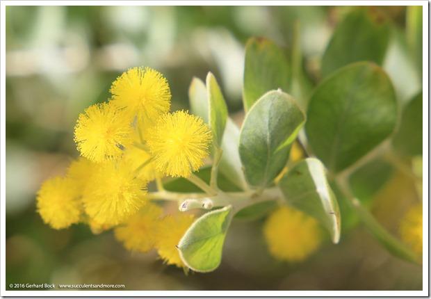 160215_UCDA_AcaciaGrove_Acacia-podalyriifolia_024