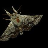 Anthelidae : Munychryiinae : Munychryia senicula WALKER, 1865. Anthelidae :