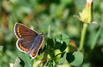 Aricia agestis2.jpg