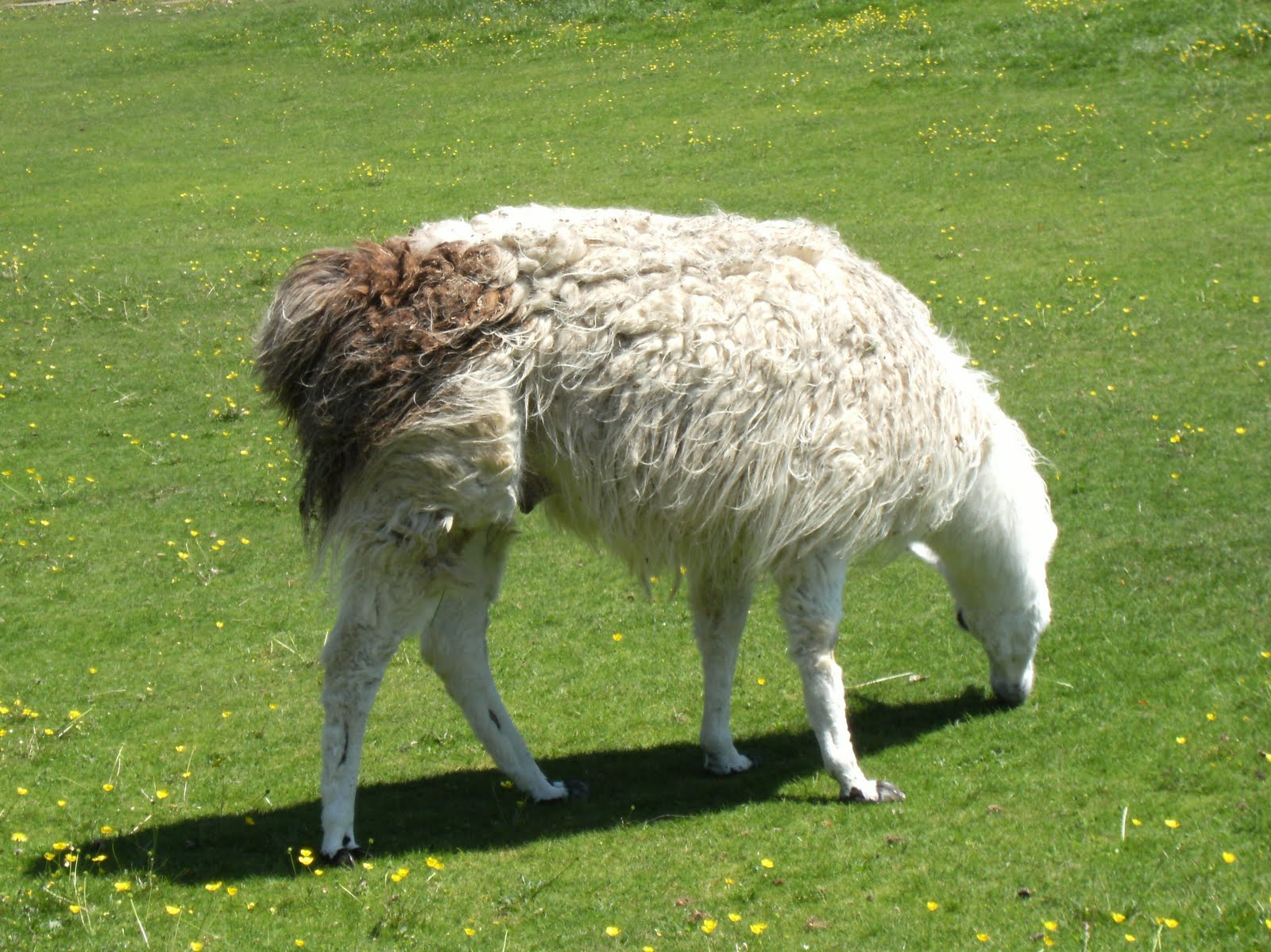 DSCF0867 Llama, Little Durnford