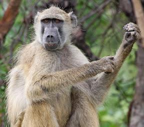 Baboon Male, Zimbabwe