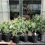 eucaliptus - 0023.JPG