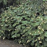 Kirengeshoma palmate,  Киренгешома дланевидная семейство гортензиевые