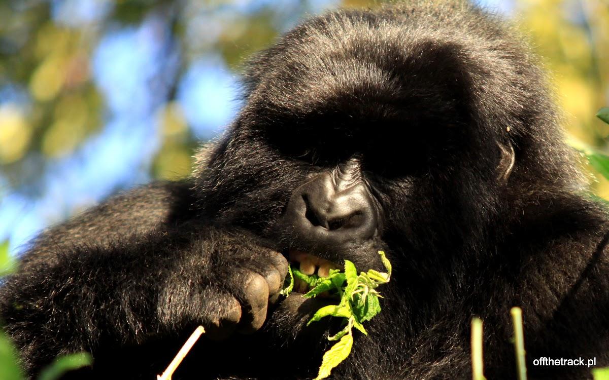 Gorylica jedząca liście, The Virunga massif region, Uganda