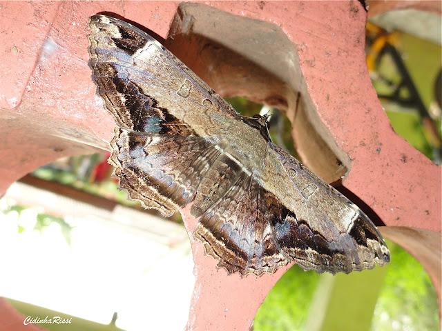 Noctuidae : Ophiderinae : Letis occidua (LINNAEUS, 1758), femelle. Colider (Mato Grosso, Brésil), mai 2011. Photo : Cidinha Rissi