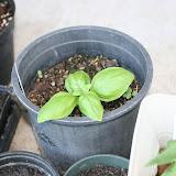 Gardening 2012 - IMG_2904.JPG