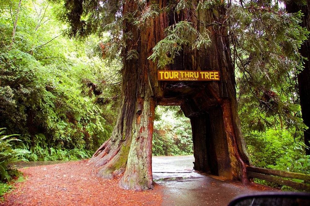The drive through trees of california amusing planet klamath drive thru tree 1 mozeypictures Image collections