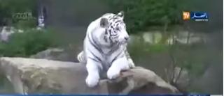 VIDÉO. Un enfant attaqué par un tigre au zoo de Ben Aknoun à Alger
