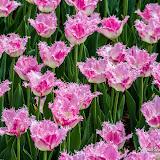 Тюльпаны (Tulipa sp.)