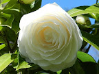 白色 千重 列弁咲き ときにラセン咲き 中輪