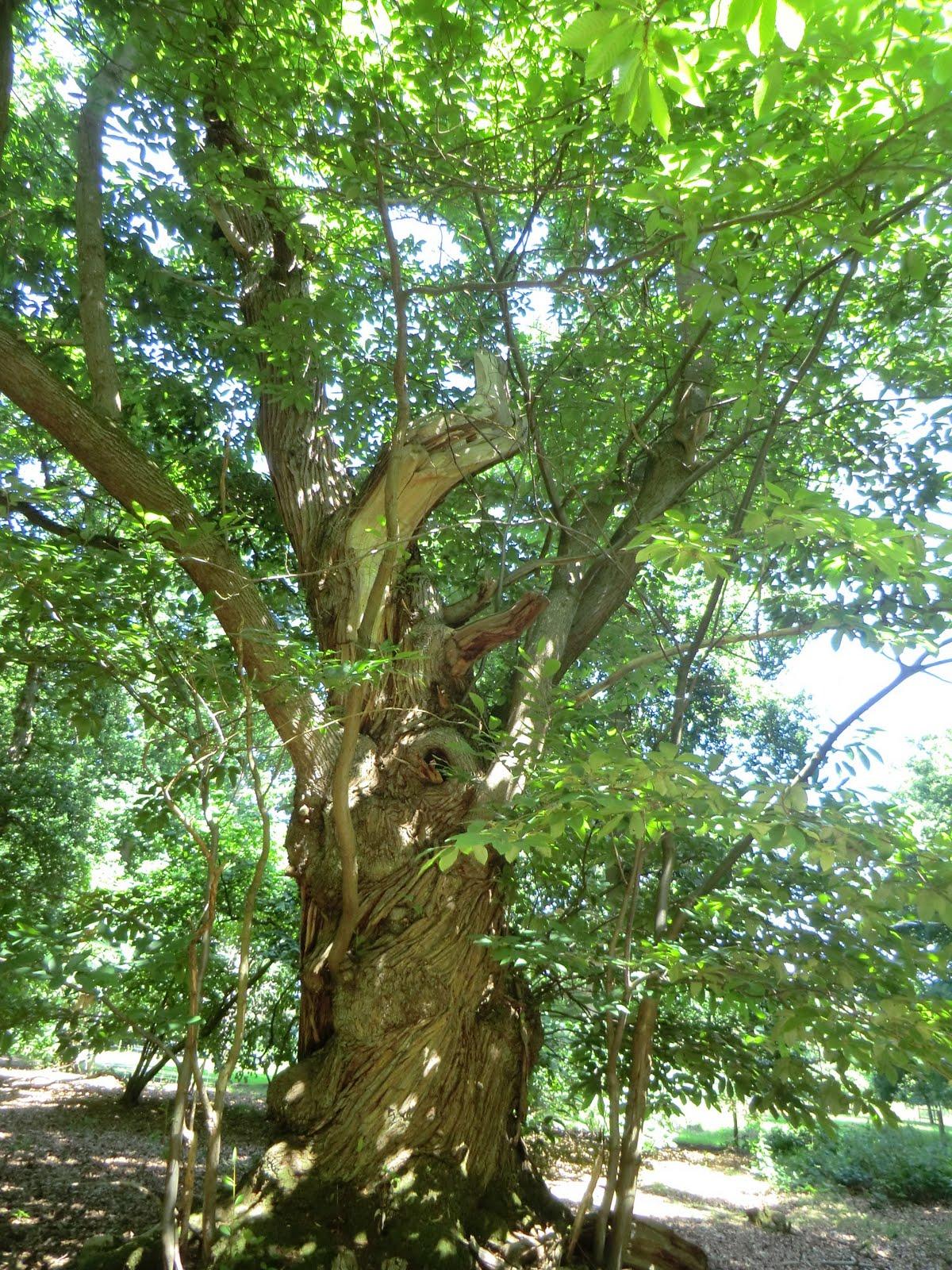 CIMG7631 Sweet chestnut, Albury Park