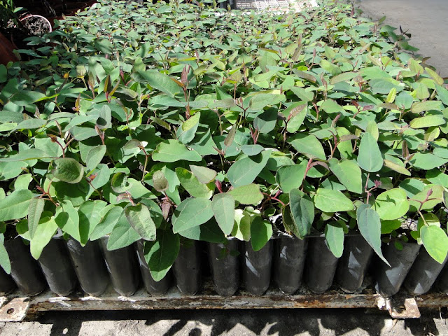 eucaliptus - 0020.JPG