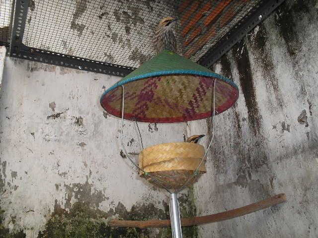 Budidaya dan Ternak: PENANGKARAN BURUNG CUCAK ROWO