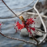 Red Maple male  flowers