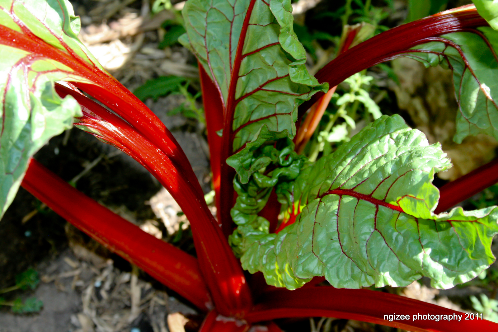 how to cook silver beet curry