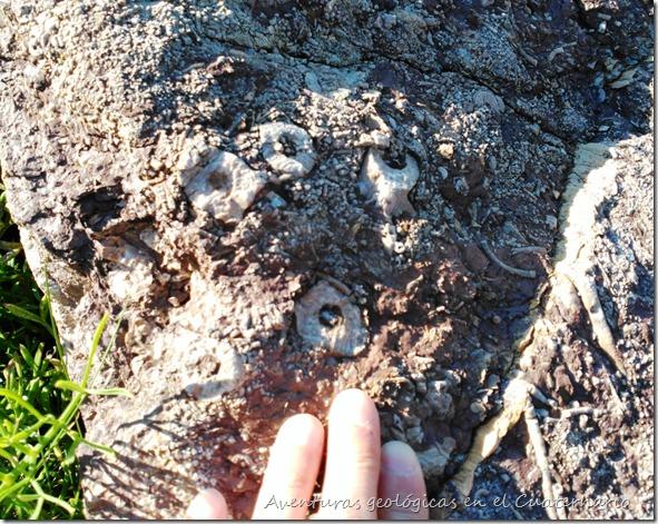 Enraizamiento crinoides