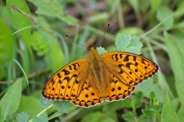 Fabriciana adippe DENIS & SCHIFFERMÜLLER, 1775, mâle. Combe de l'Air, Forêt de Châtillon (Côte-d'or), 16 juin 2007. Photo : J.-M. Gayman