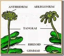 Tumbuhan Lumut (Bryophyta) 5