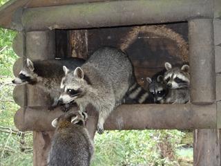 2016.07.31-040 ratons laveurs