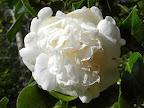純白、唐子〜牡丹咲、大輪、秋咲、関西古種