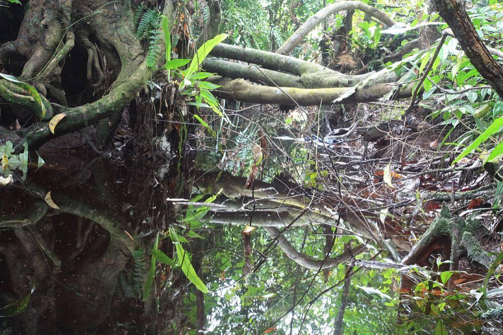 В ручье с С. pallidinervia недалеко от Сибу течение практически отсутствовало и поверхность воды, как зеркало, отражало все краски окружающего леса. Фото: Д. Логинов.
