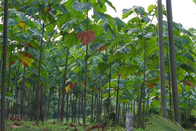 Plantation de tecks. Calderon (San Lorenzo, Esmeraldas), 29 novembre 2013. Photo : J.-M. Gayman