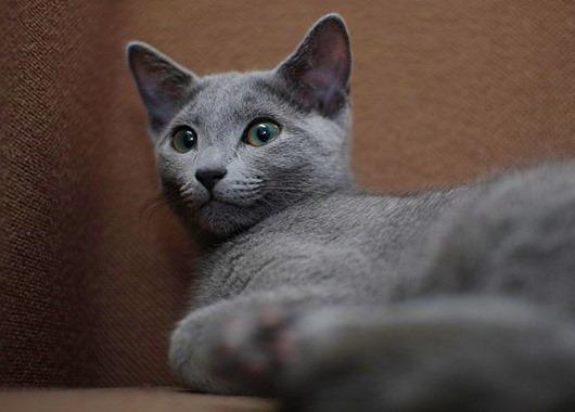 порода-кошек-русская-голубая