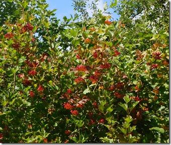 6 guelder rose