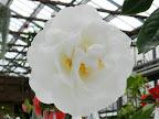 白色 牡丹〜バラ咲き〜千重咲き 大輪