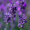 Lavender essential oil in Blue Labelle blends