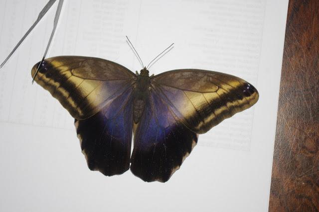 Caligo oileus oileus C. Felder & R. Felder, 1861, femelle. Paris, le 28 décembre 2015. Photo : J.-M. Gayman